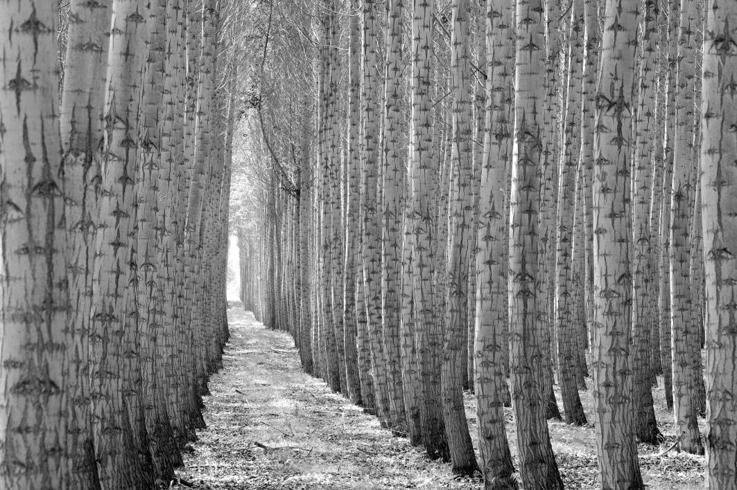 Tree_Farm_BW